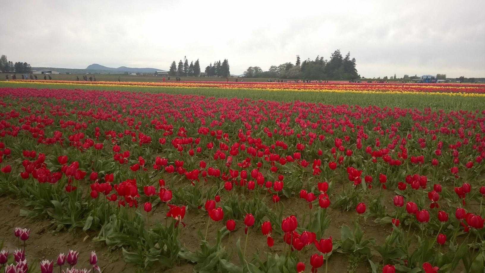Skagit Valley 斯卡吉特谷: Washington Tulip Festival 華盛頓鬱金香節 ...
